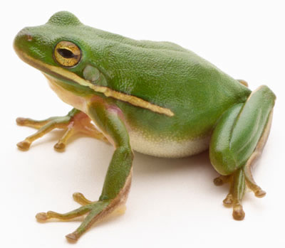 Gallery For gt Frogs